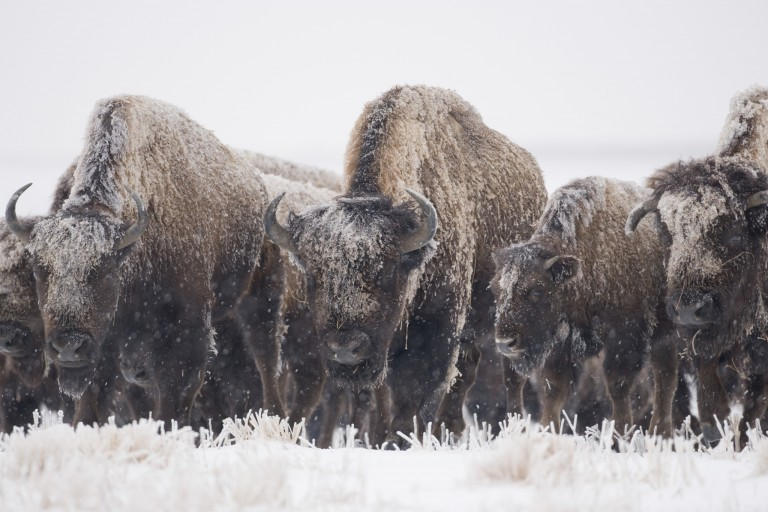 Bison – Facing Winter Head On